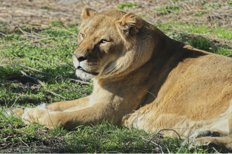 This is one of the two female lions. She is basking in the warm sun. She has been with the zoo for a long time. She is one of the three lions at the Boise Zoo.